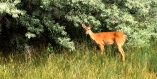 Deer at Haynes Point Park