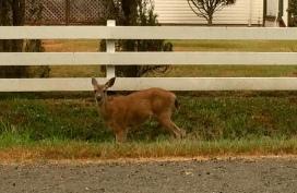 Deer on the way