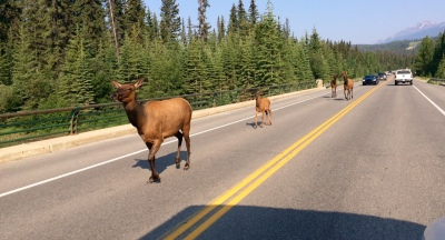 Elks parading on the highway