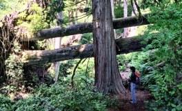 Admiring enormous fallen trees