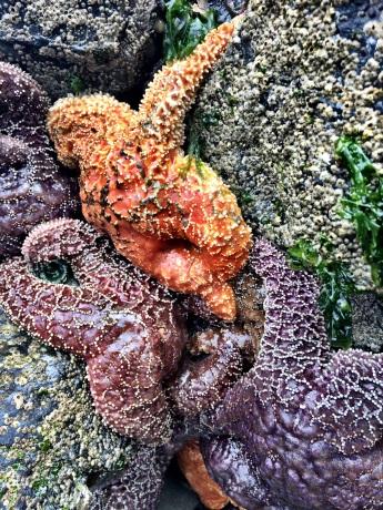 Amazing Starfish