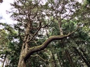 Giant winding branch