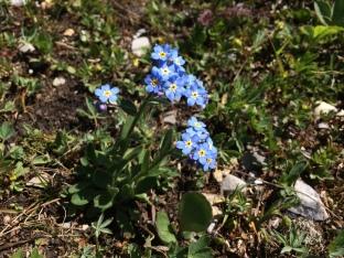 Alpine Forget-me-nicht