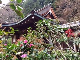 Tsubaki blooming in winter.