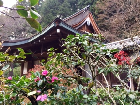 Tsubaki blooming in winter.