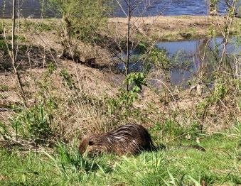 The Elbe beaver