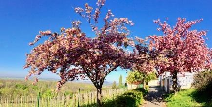 Sakura on the hill of Melnik