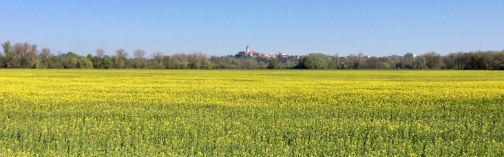 Rapeseed field with Melnik in the background