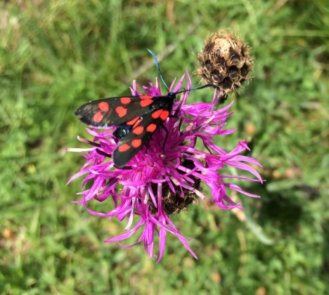 A beautiful black butterfly with red spots