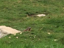 Marmots everywhere