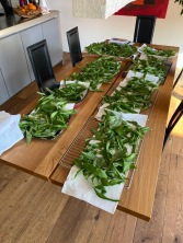 Huge quantity of bear's garlic leaves, washed and dried.